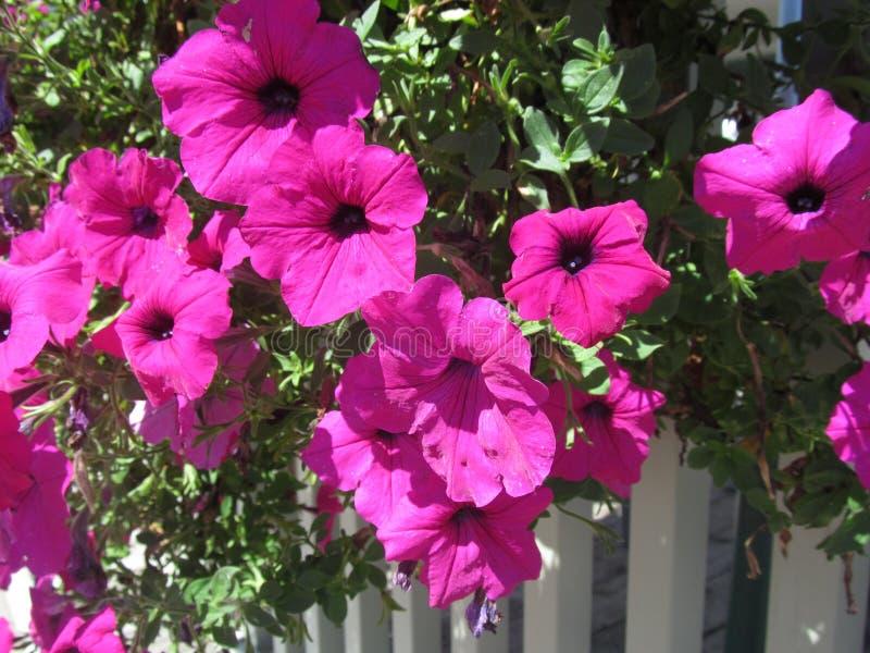 Kleurrijke inzameling van roze bloemen die over witte omheining hangen stock afbeeldingen