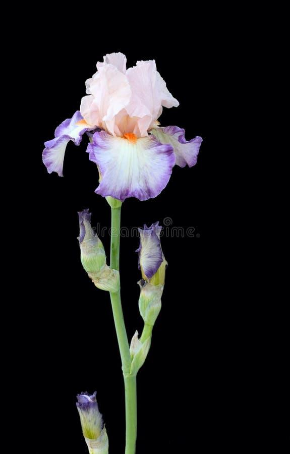 Download Kleurrijke iris op zwarte stock afbeelding. Afbeelding bestaande uit bloei - 276985