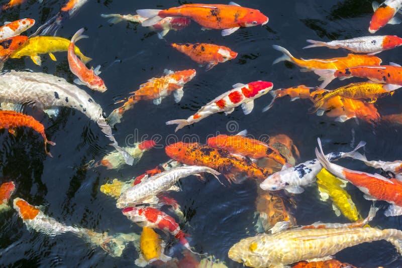 Kleurrijke karpersvissen royalty-vrije stock fotografie