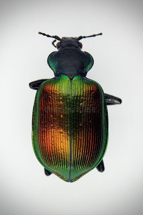 Kleurrijke kevermestkever royalty-vrije stock afbeelding