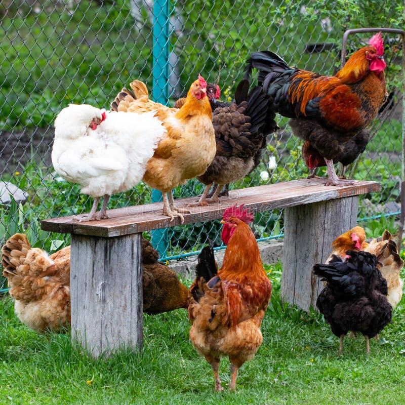 Kleurrijke kippen en hanen op het gras op een gebied stock afbeeldingen