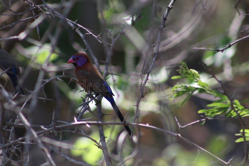 Kleurrijke kleine vogel stock foto