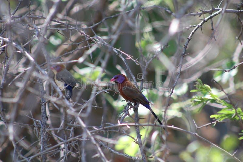 Kleurrijke kleine vogel stock fotografie