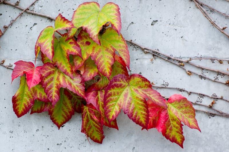 Kleurrijke Klimop stock foto's