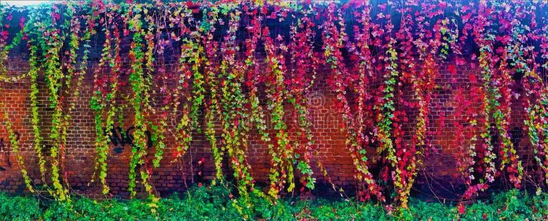 Kleurrijke klimop en muur stock fotografie