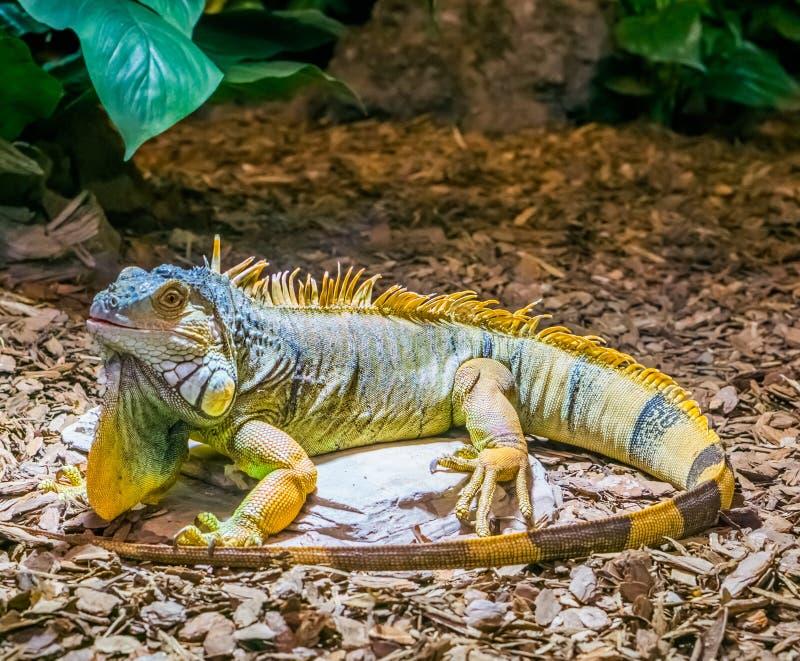 Kleurrijke leguaan met gestreepte staart en een baard, gele bruine oranje kleuren, populair tropisch huisdier van Amerika, mooie  royalty-vrije stock fotografie