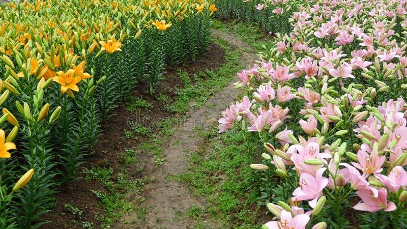 Kleurrijke leliebloemen met weg stock fotografie