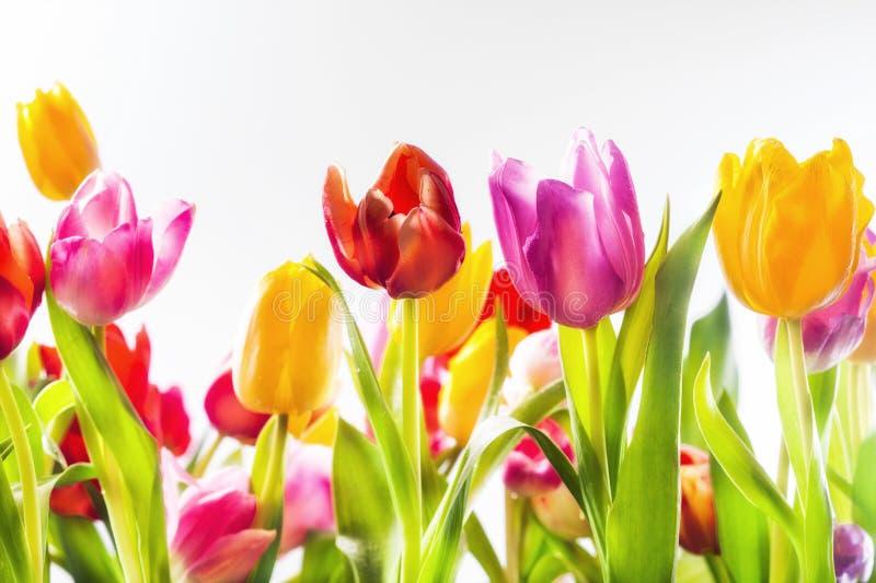 Kleurrijke levendige tulpen op een gebied royalty-vrije stock afbeeldingen