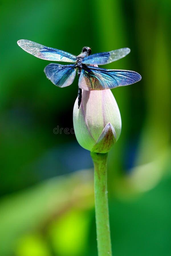 Kleurrijke libel op een lotusbloembloem royalty-vrije stock fotografie