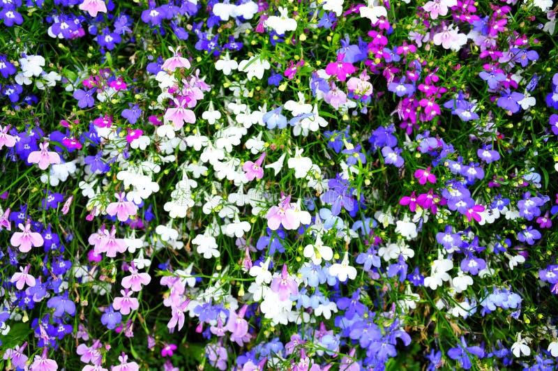 Kleurrijke lobelia stock foto