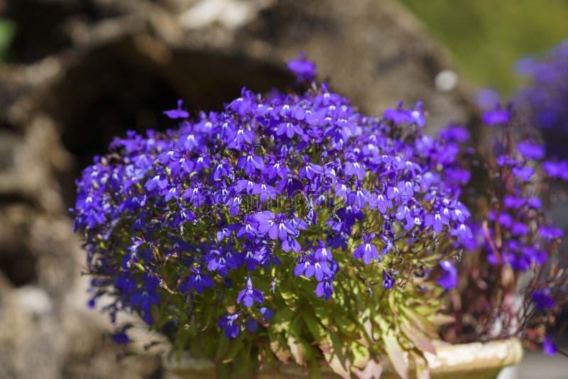 Kleurrijke Lobelia-bloem in de de zomertuin royalty-vrije stock afbeeldingen