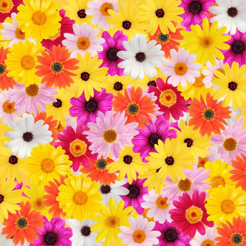 Kleurrijke madeliefjeachtergrond stock foto