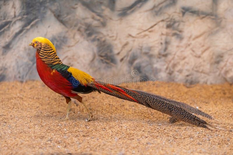 Kleurrijke mannelijke Gouden fazant die met zijn kleurrijk gevederte pronken royalty-vrije stock afbeeldingen