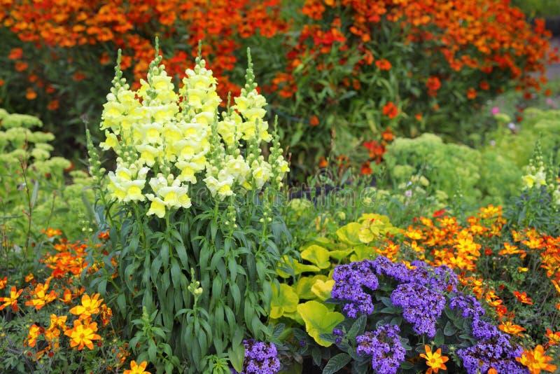 Kleurrijke mengelingsgrens in de formele tuin met gele leeuwebek stock foto