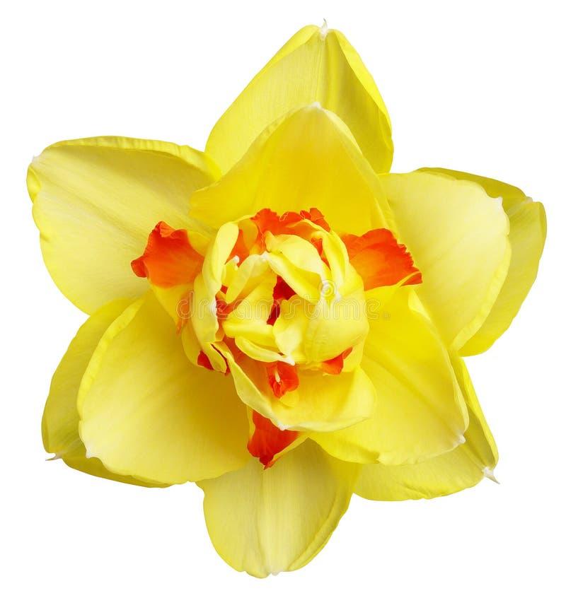 Kleurrijke Narcissen royalty-vrije stock foto