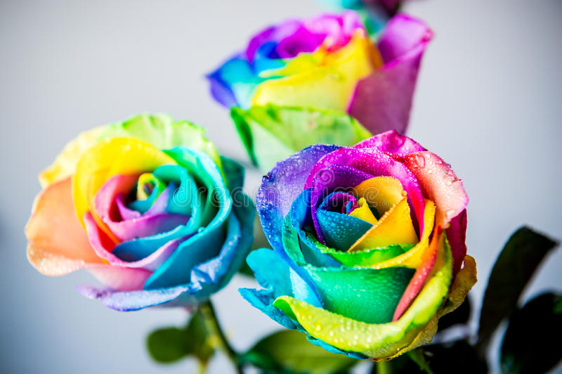 Kleurrijke natte rozen stock foto's