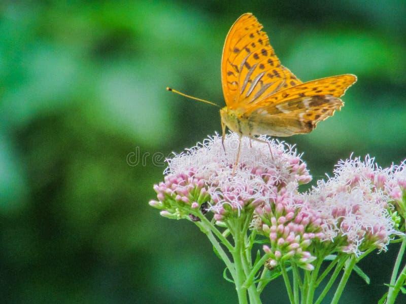 Kleurrijke natuurlijke vlinder stock foto's