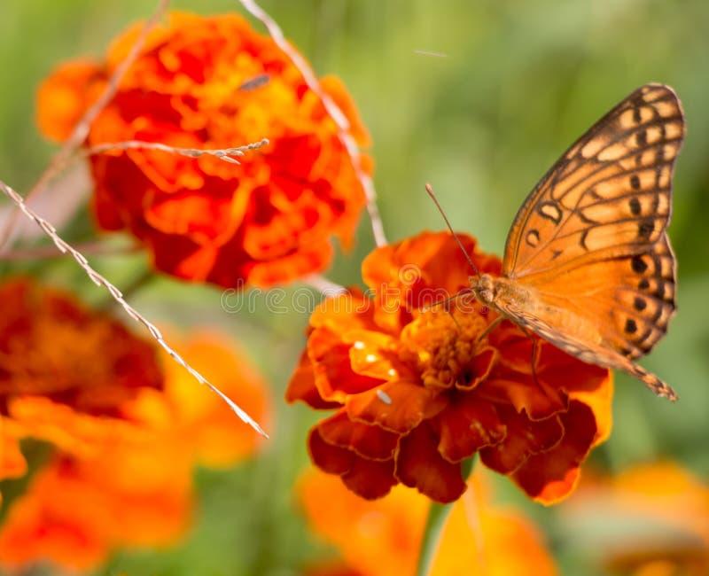 Kleurrijke oranje, gele en zwarte buttleflyzitting op een rode tagetebloem in de tuin tijdens de zomer royalty-vrije stock foto's
