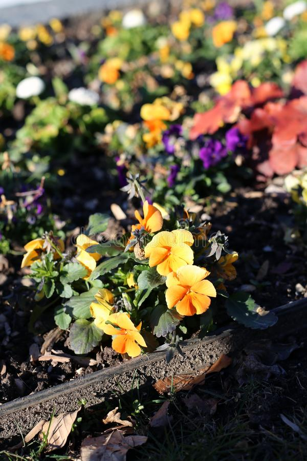 Kleurrijke Pansy Flowers tijdens Sunny Spring Day royalty-vrije stock foto's
