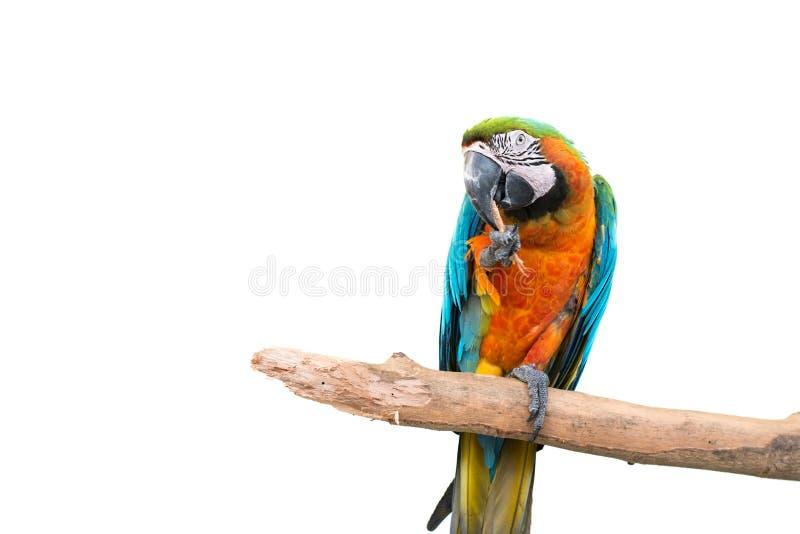 kleurrijke papegaai die zich op een tak bevinden royalty-vrije stock foto's