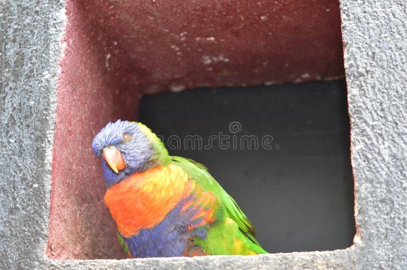 Kleurrijke papegaai die zich op weinig venster bevinden royalty-vrije stock foto's