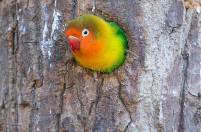 Kleurrijke papegaai (dwergpapegaai) royalty-vrije stock afbeelding