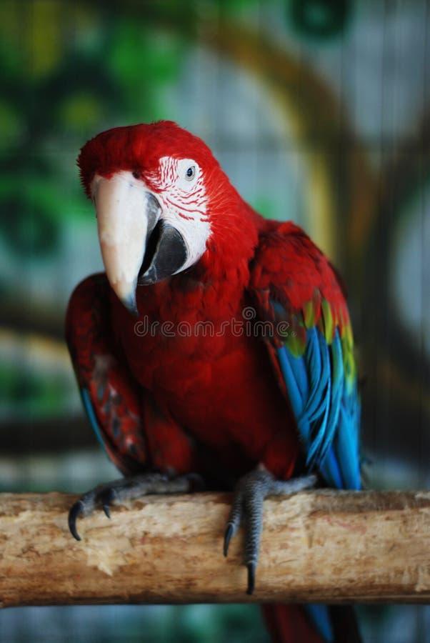 Kleurrijke Papegaai - Rode Blauwe Oranje Ara bij de Dierentuin meer dan Bars stock afbeeldingen