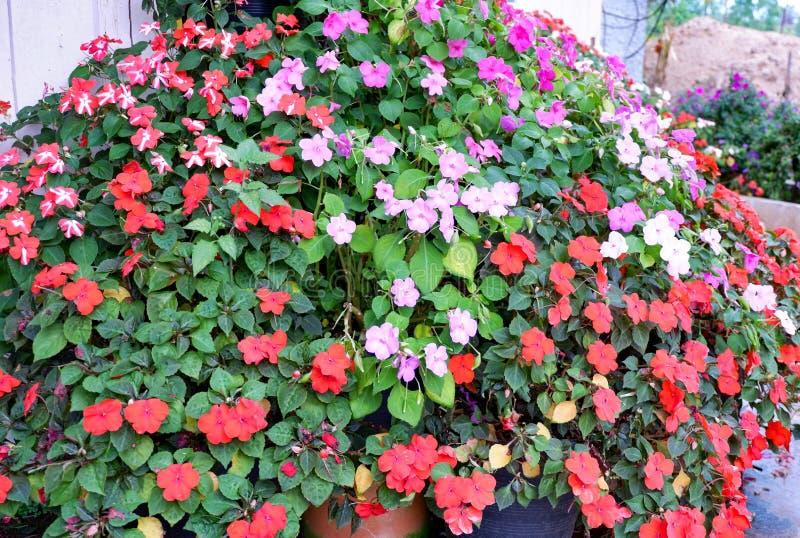 Kleurrijke petuniabloem stock afbeeldingen