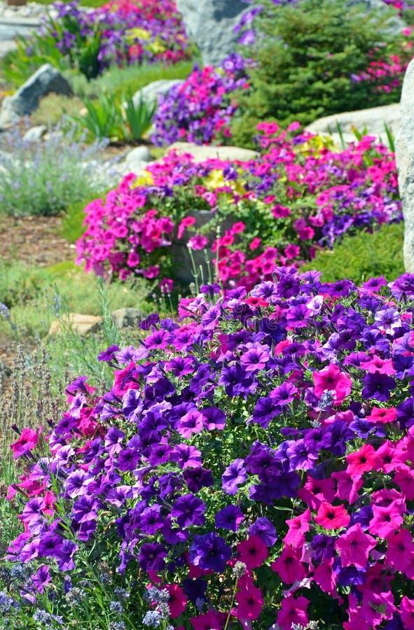 Kleurrijke petuniatuin royalty-vrije stock afbeeldingen