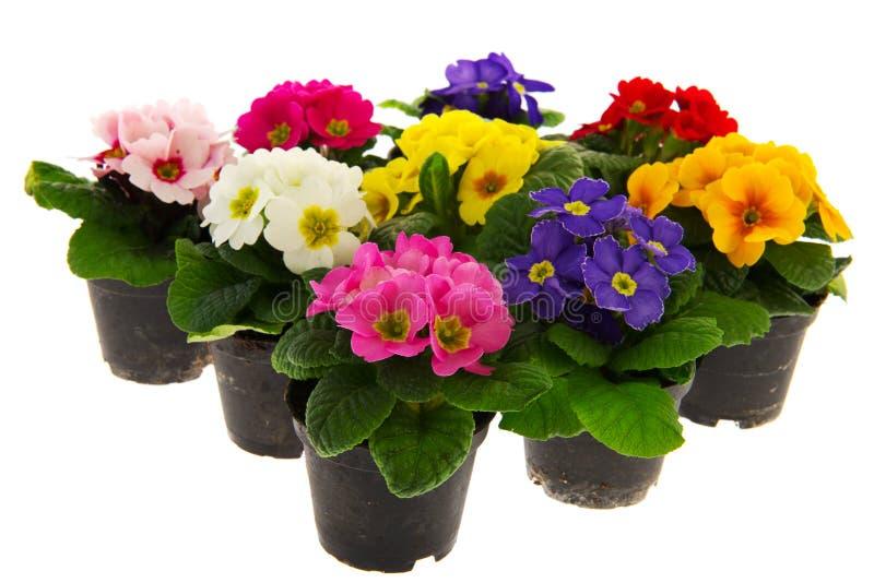 Kleurrijke Primula's royalty-vrije stock afbeeldingen