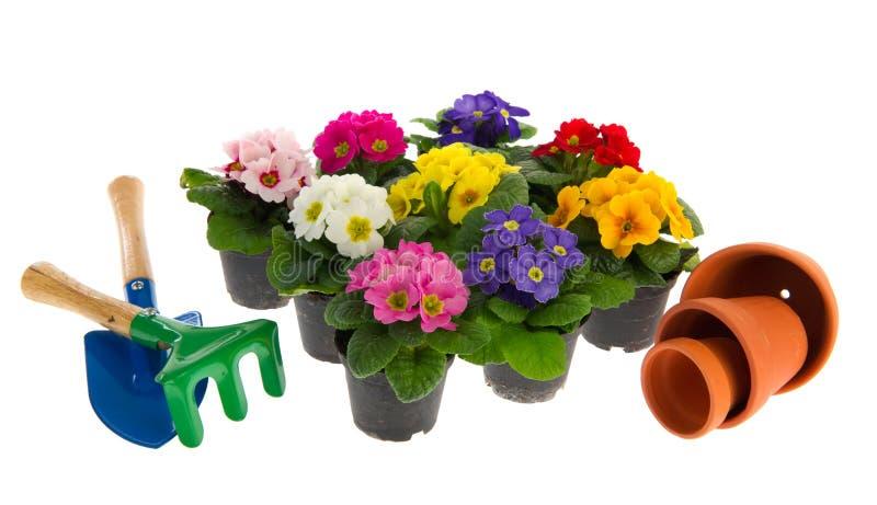 Kleurrijke Primula's royalty-vrije stock fotografie