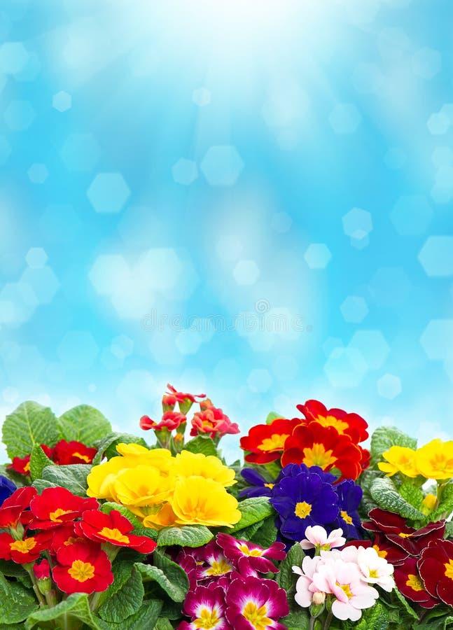 Kleurrijke primulabloemen over vage achtergrond stock afbeelding