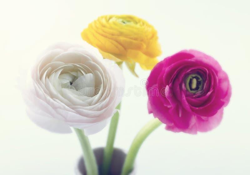 Kleurrijke ranunculus flowers1 royalty-vrije stock foto's