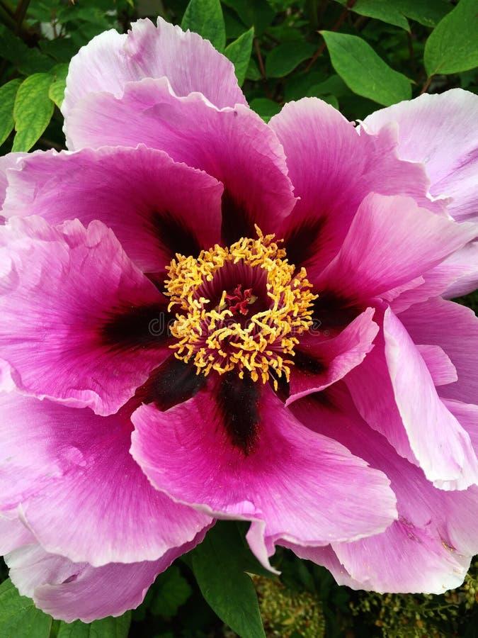Kleurrijke Reuzepioen Rosy Pink Violet royalty-vrije stock foto