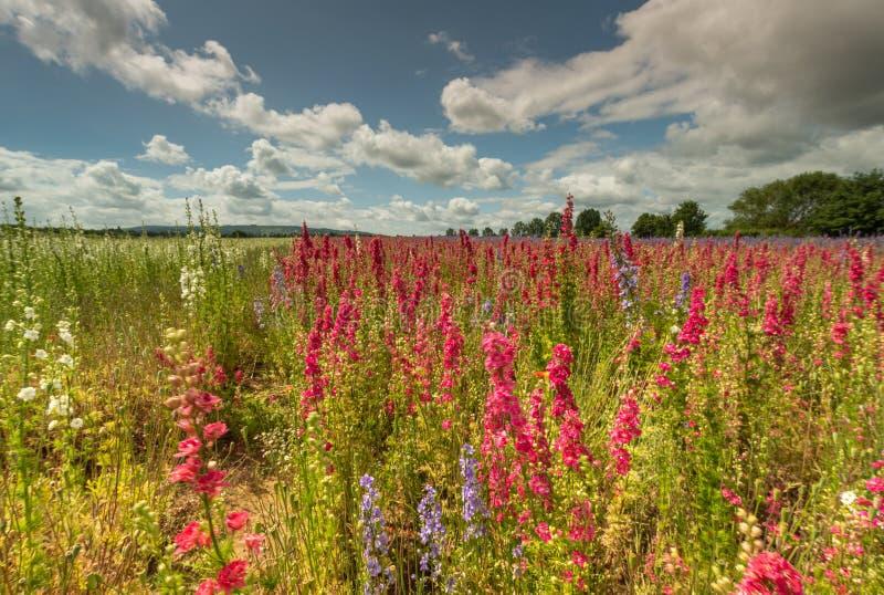 Kleurrijke Riddersporen op een gebied stock afbeeldingen