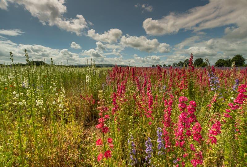 Kleurrijke Riddersporen op een gebied stock fotografie