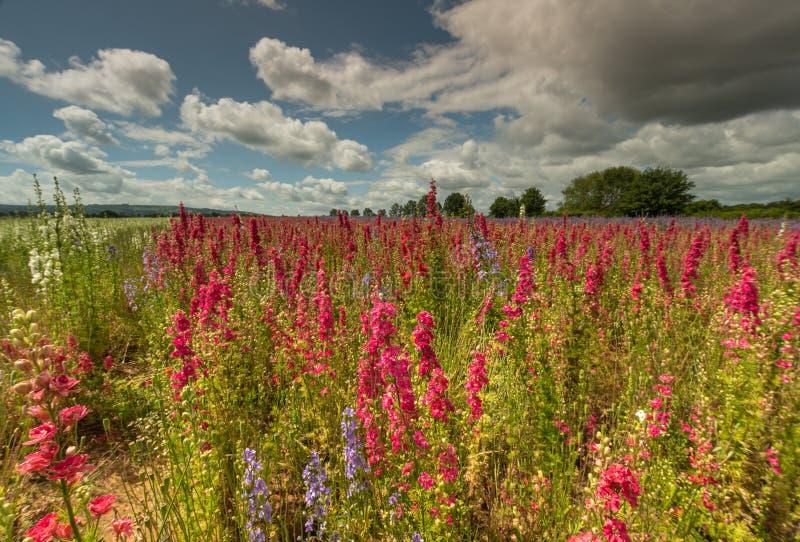 Kleurrijke Riddersporen op een gebied stock foto