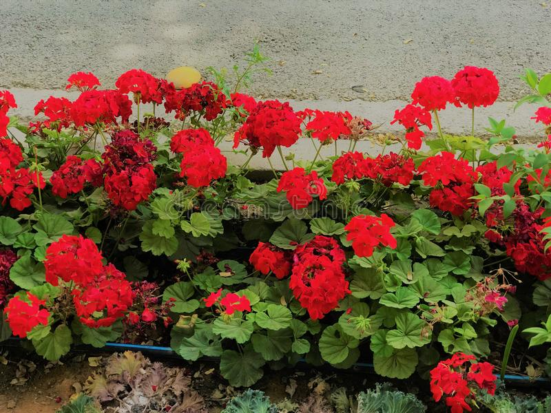Kleurrijke rode bloemen, tuinpark stock foto