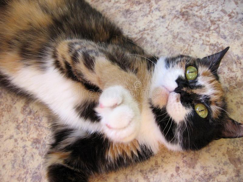 Kleurrijke rode kat met zwarte witte vlekken die op de vloer liggen stock foto's