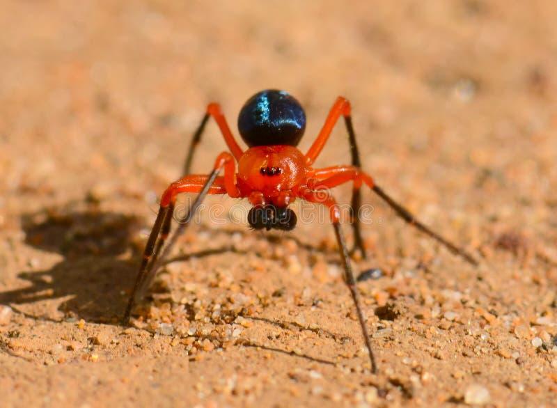 Kleurrijke rood-en-Zwarte spin stock afbeelding