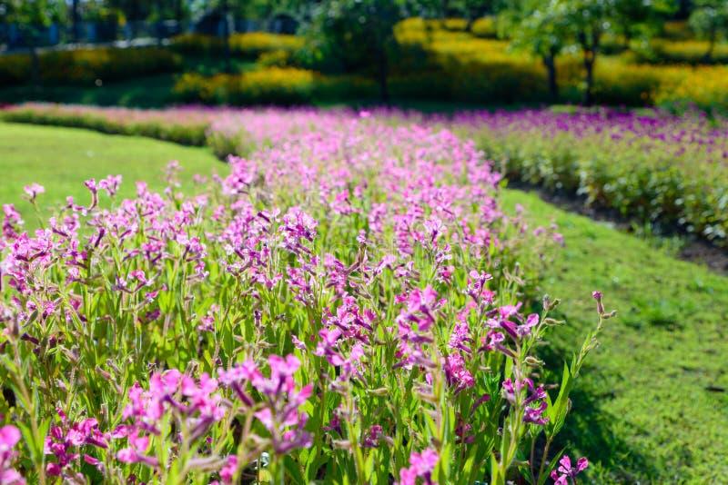 Kleurrijke roze bloemen in de tuin bij Rajapruek-park, Chiangmai stock foto's