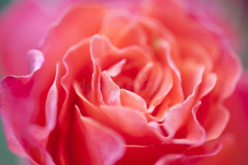 Kleurrijke roze nam de textuur van de bloemblaadjesclose-up, bloemenachtergrond toe stock foto