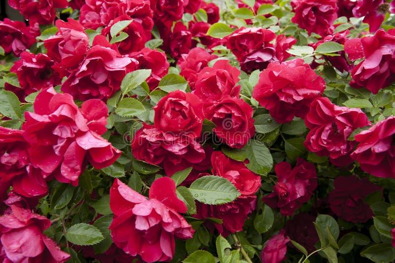 Kleurrijke rozen in een tuin royalty-vrije stock fotografie