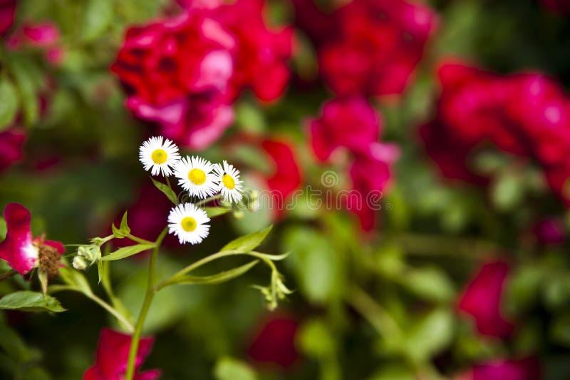 Kleurrijke rozen in een tuin stock foto