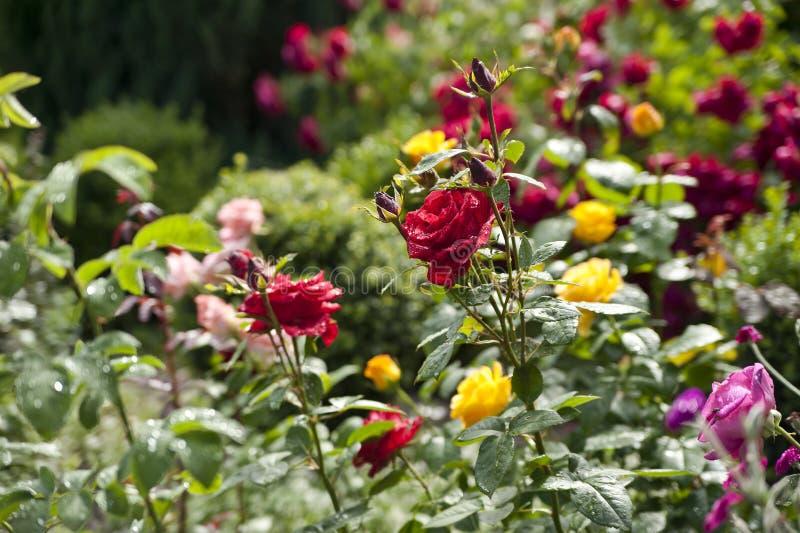 Kleurrijke rozen in een tuin stock afbeeldingen