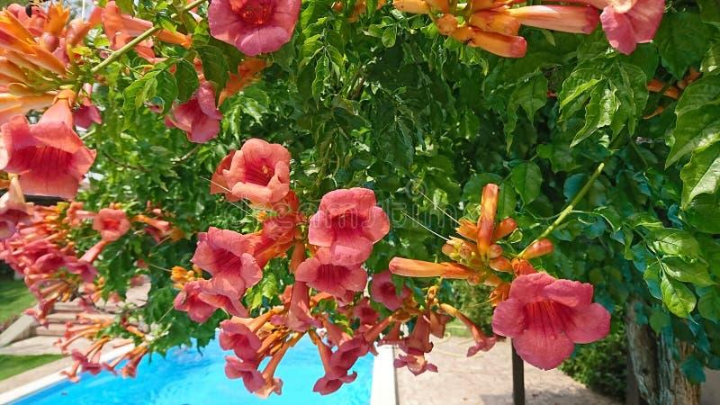 Kleurrijke trompetbloemen in bloei royalty-vrije stock afbeeldingen