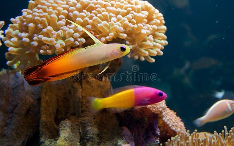 Kleurrijke tropische fiah royalty-vrije stock afbeelding