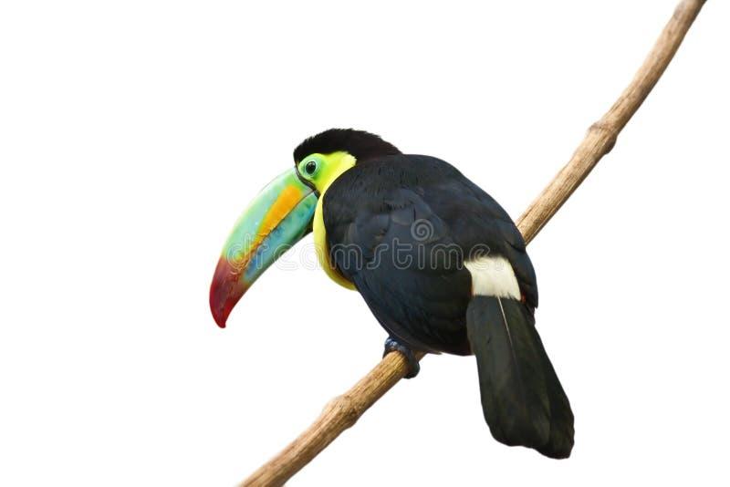 Kleurrijke tucan stock afbeelding