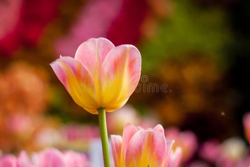 Kleurrijke tulp in de tuin stock fotografie