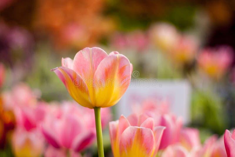 Kleurrijke tulp in de tuin stock afbeeldingen
